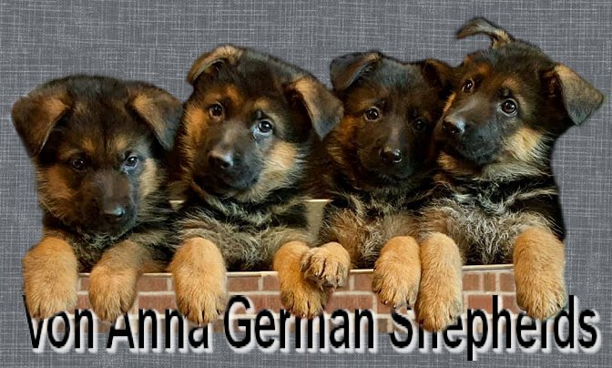 German Shepherd Purebred Puppies For Sale at Von Anna